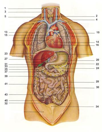 Organe des Menschen